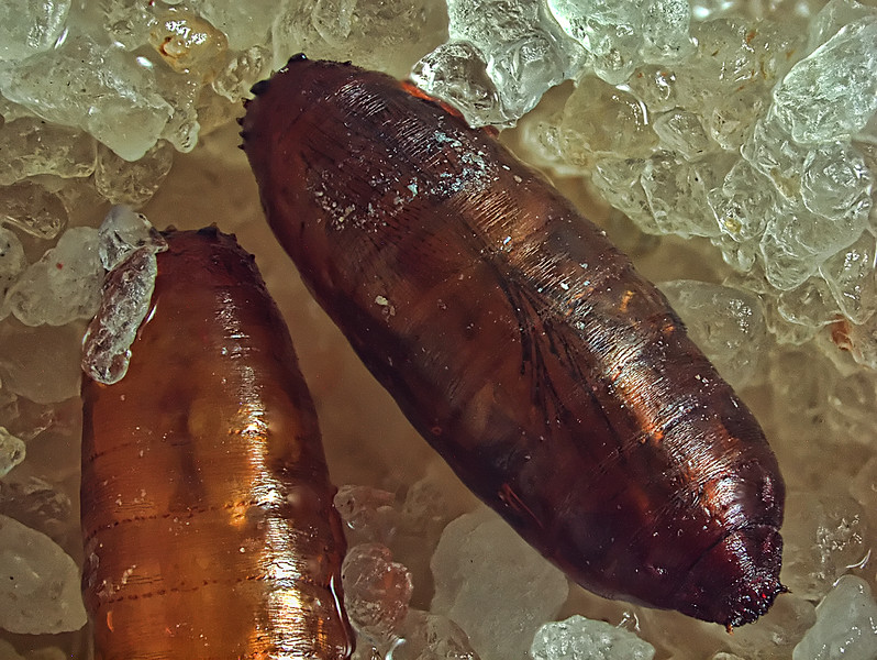 The pupa on the right contains a fly that is about to emerge.  Hairs and wing outlines can be seen below the puparium case.  check
