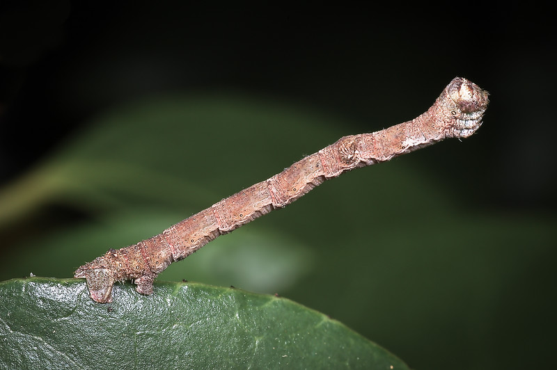 Inchworm or looper striking a defensive posture by remaining absolutely motionless and looking to any predator like just another unappetizing twig.