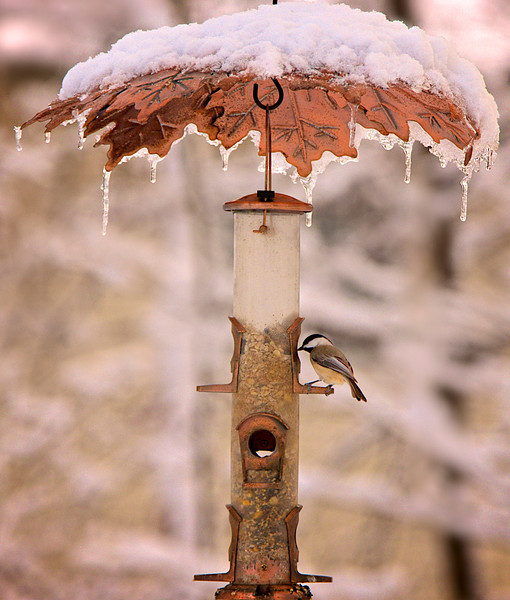 Snow Day at the Feeder