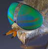Greenhead fly, Tabanus nigrovittatus (Diptera: Tabanidae)
