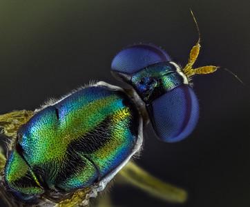 Female broad-centurion soldierfly, Chloromyia formosa?