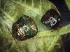 Kudzu bugs, Megacopta cribraria, on kudzu, Pueraria lobata