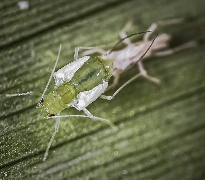 Alate greenbug  just exiting the old exoskeleton.  The wings are highly folded at this point and are opaque white.  Within minutes the wings were expanded, translucent, and folded A-shape over the back of the aphid.