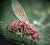 Fly with fungal infection 1