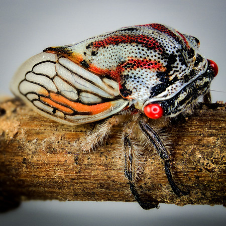 This is an oak treehopper