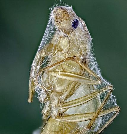 Spider prey  13 may 18