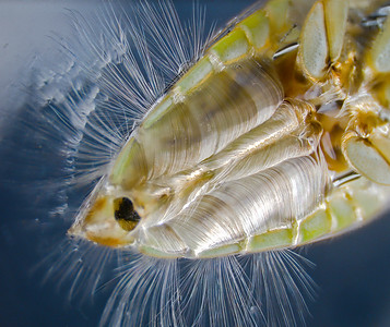 Ventral abdominal view of a female backswimmer showing long lateral hairs that rest on the water's surface tension (upper left) and keep the insect above the water.  While outside the water, air enters the spaces between the densly-packed hairs on the abdomen.  This provides oxygen for the backswimmer to remain underwater while searching for prey.