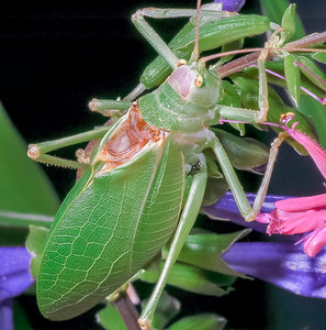 Katydid showing the stridulating, or sound producing organ at the base of the wings.  The venation and color of the wings help the insect blend in with it's green, leafy surroundings.