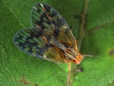 Bothriocera maculata?