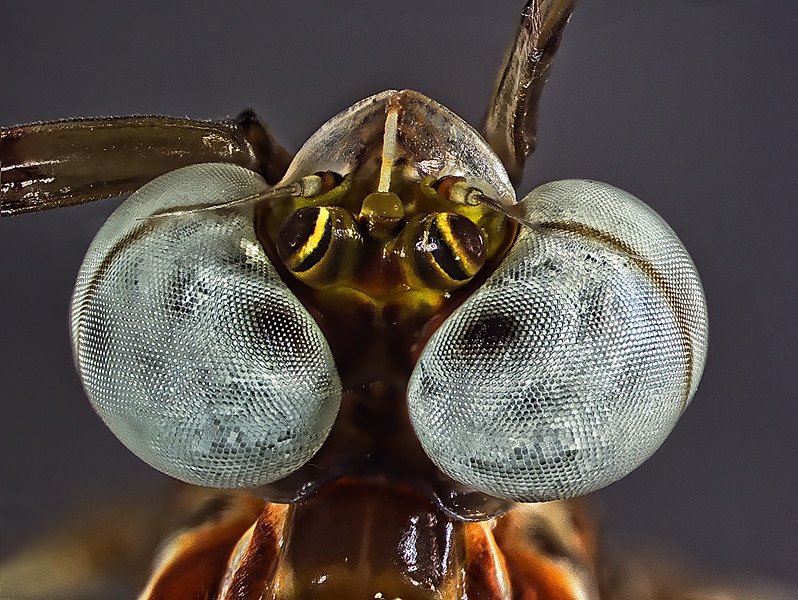 Top view of a mayfly showing the huge 3-D compound eyes and the three simple eyes in between. check