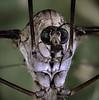 Crane fly 30 aug 16