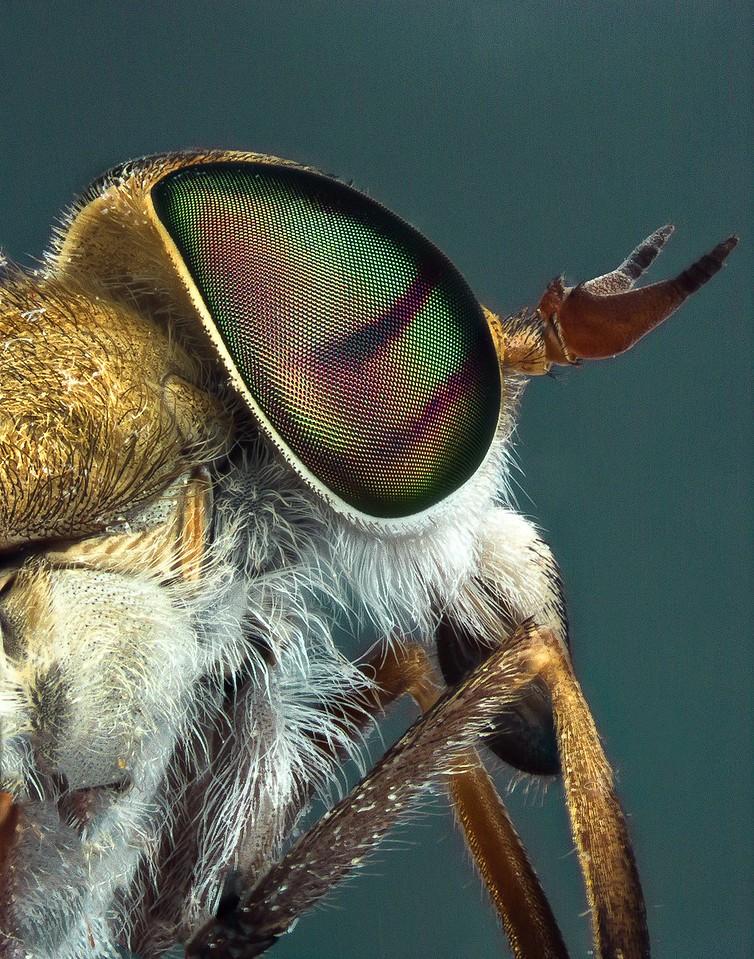 deer fly