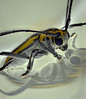 Beetle reflected in plastic vial. unknown id