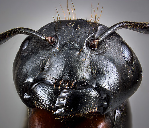 """Head of a carpenter ant showing large, powerful mandibles and the fine microtexture of the head capsule.  The capsule is extremely strong to protect the brain and sensory organs.  It also supports the massive muscles that operate the jaws.  Note the """"ball-and-socket"""" joint that allows a broad range of motion for each antenna."""
