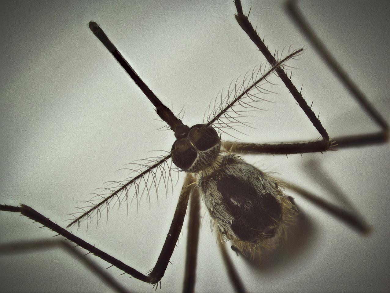 Female mosquito caught feeding on my leg