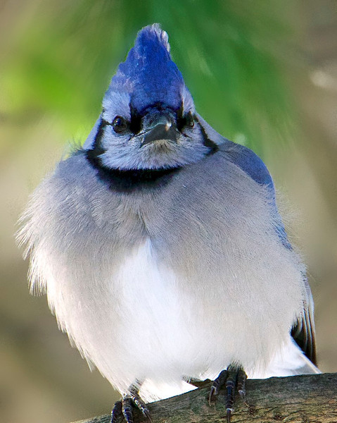 A Winter's Jay