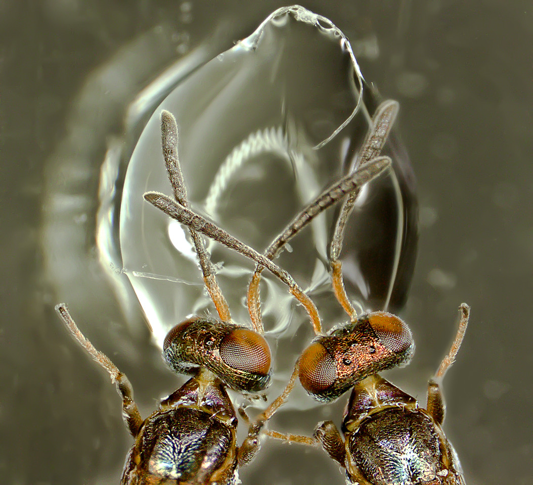 Parasitoids from lepidoptera eggs drinking from a drop of water