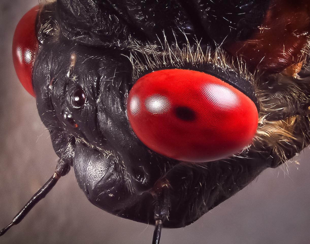 Brood XIV 13-year cicada, Magicicada sp