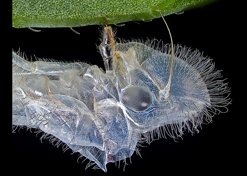 Note the piercing mouthparts embedded into the leaf's main vein, which anchors the insect and allows the next stage to more easily shed it's old skin. check