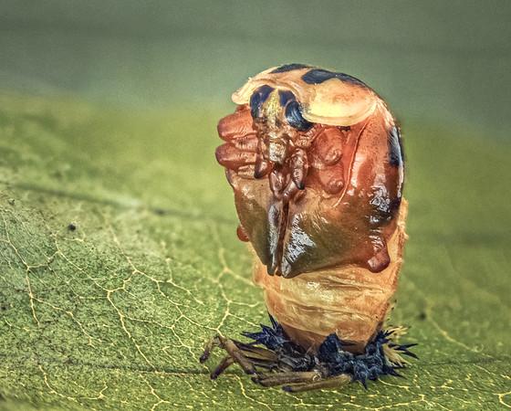 Ladybird pupa  4 june 18