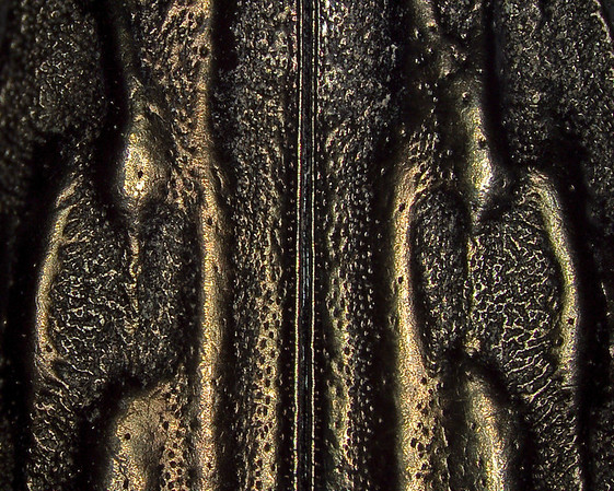 "check.  The structure, texture, and color of a portion of the elytra from a metallic wood boring beetle.  The two ""shells"" come together inside the parallel lines down the center of the image."