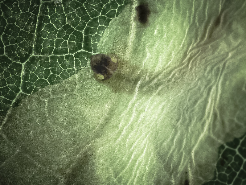 Leaf miner feeding on green plant tissue protected by the thin, clear<br />  leaf cuticle (mosaic appearance).  Unknown Order.