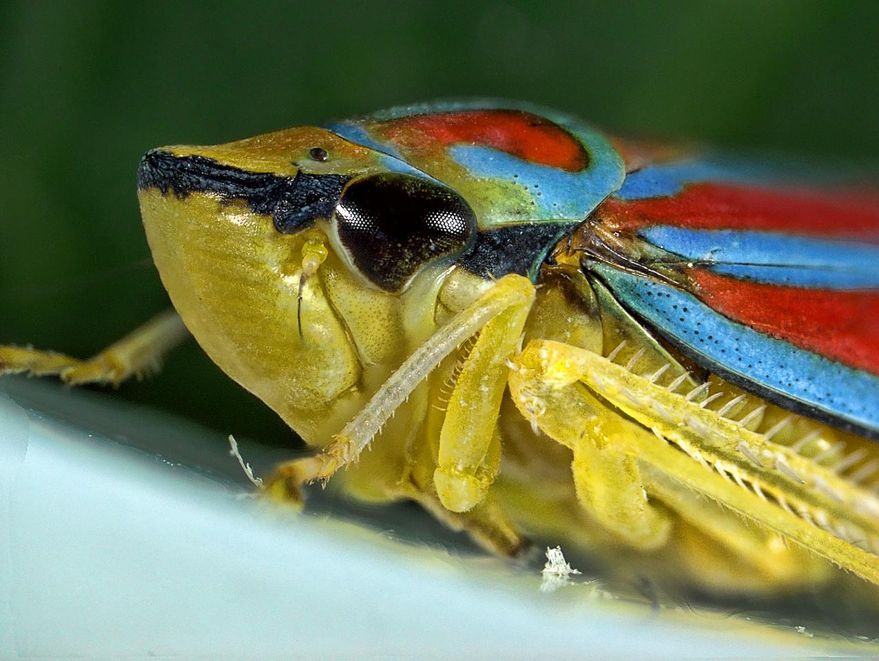 Red-banded leafhopper, Graphocephala coccinea