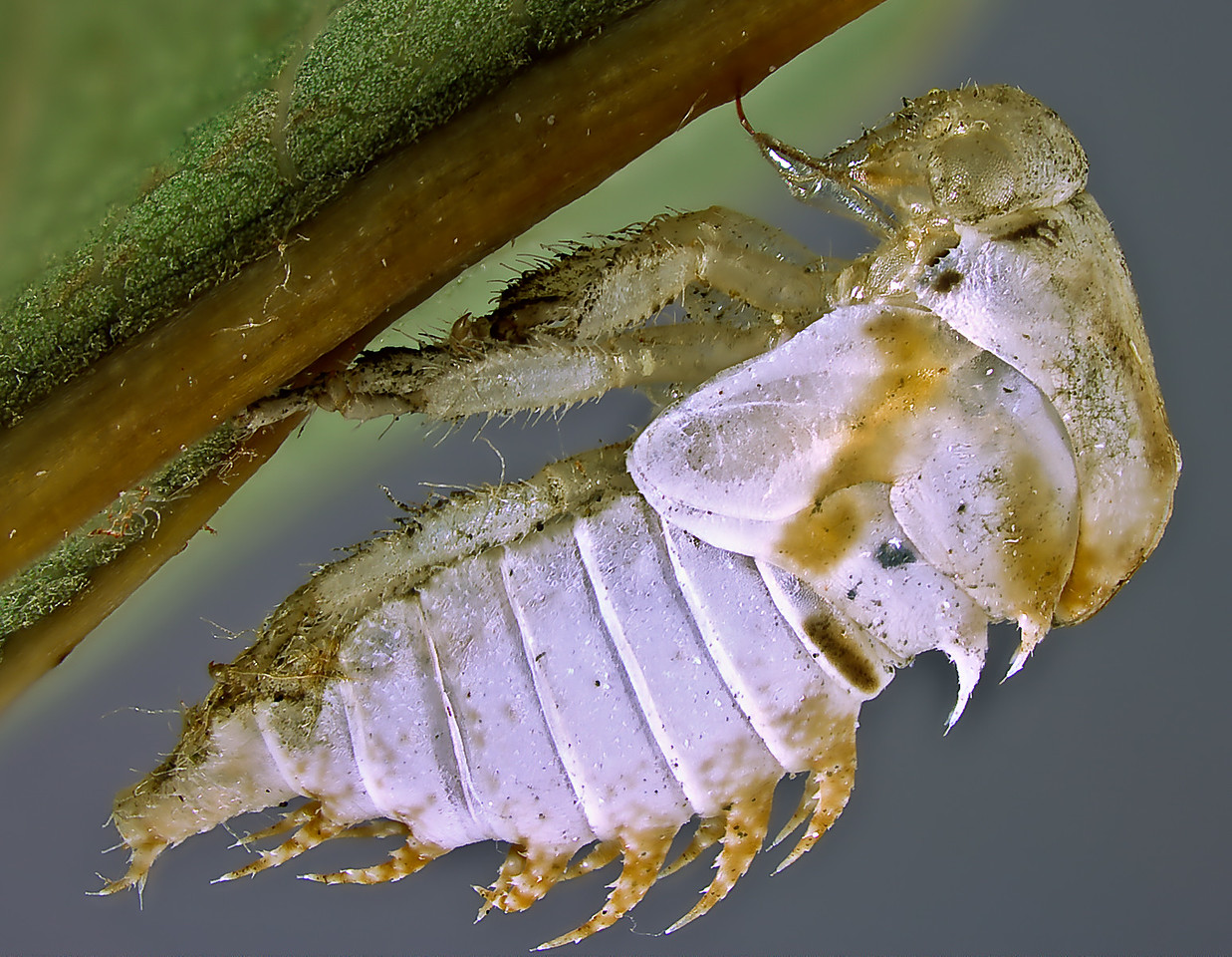 Cast skin or exuvia of a leafhopper (Hemiptera: Cicadellidae) with mouthparts embedded in plant's main vein to anchor the old skin and allow the insect to free itself more easily