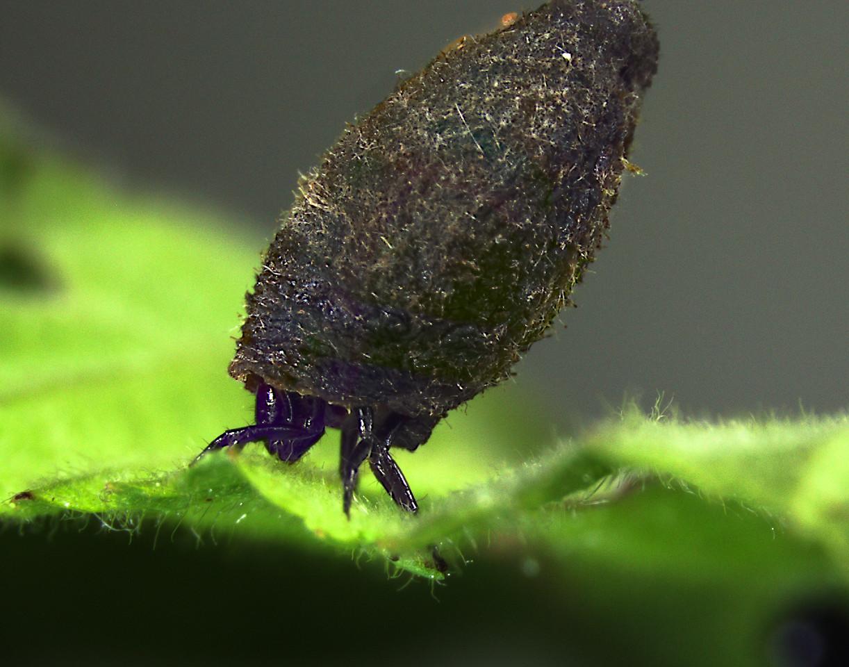 Case-bearing leaf beetle larva
