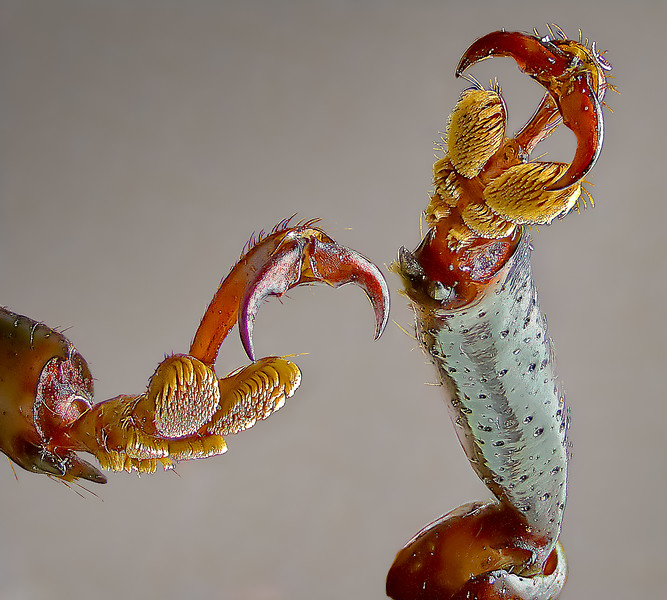 Claws and brush structures that allow this beetle to crawl on many different types of surfaces.