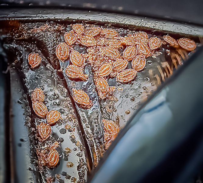 Mites on the ventral surface of a passalid beetle.