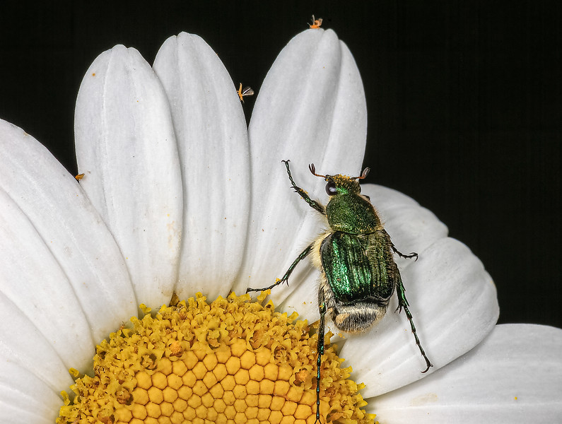 Three thrips and a beetle
