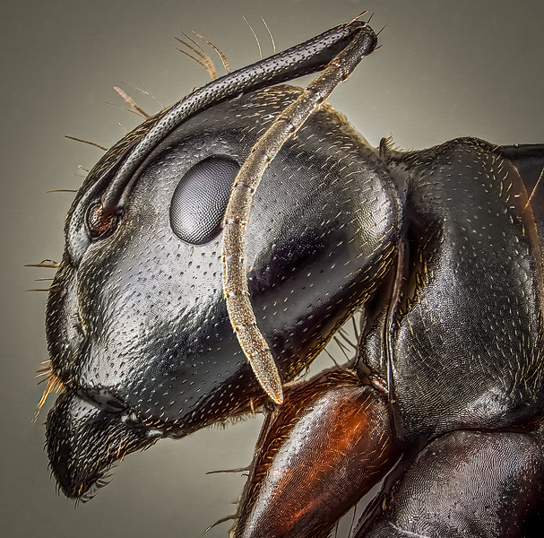 """Side view of a carpenter ant. One good  way to differentiate an ant from a termite is to look at the antennae.  If they are """"elbowed"""" or bent in the middle, as in this image, it's an ant.  If you have something that looks like an ant but has straight antennae, more likely it's a termite."""