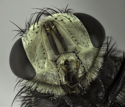 unknown id; Tachinidae?