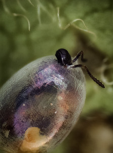 Unsuccessful eclosion of adult parasitoid from host egg