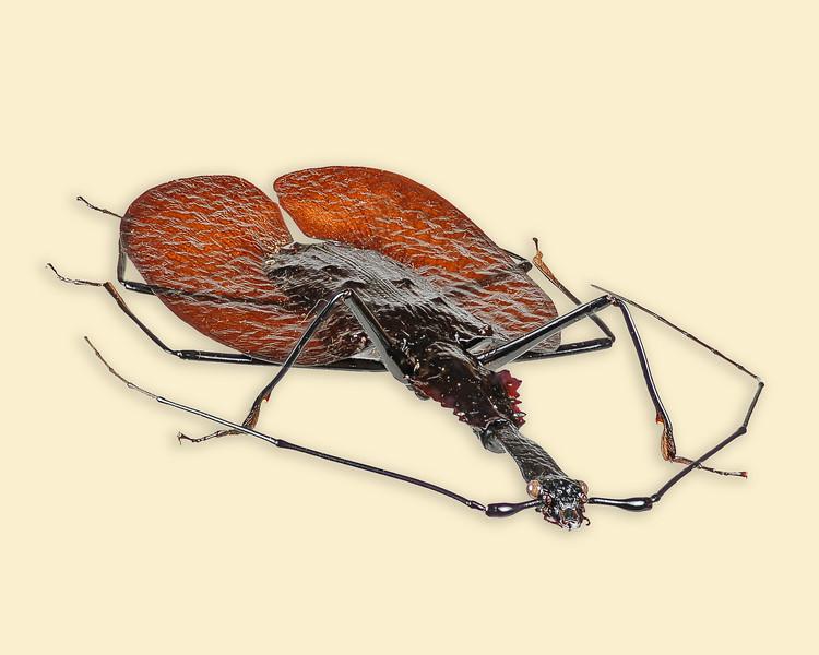 Largest ground beetle.