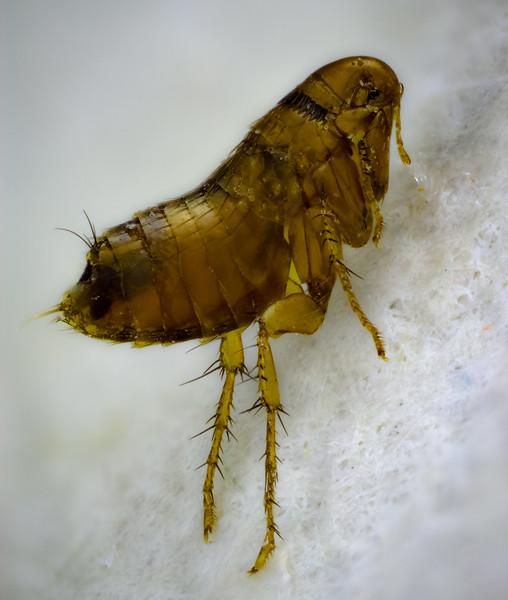 Flea  1 may 17