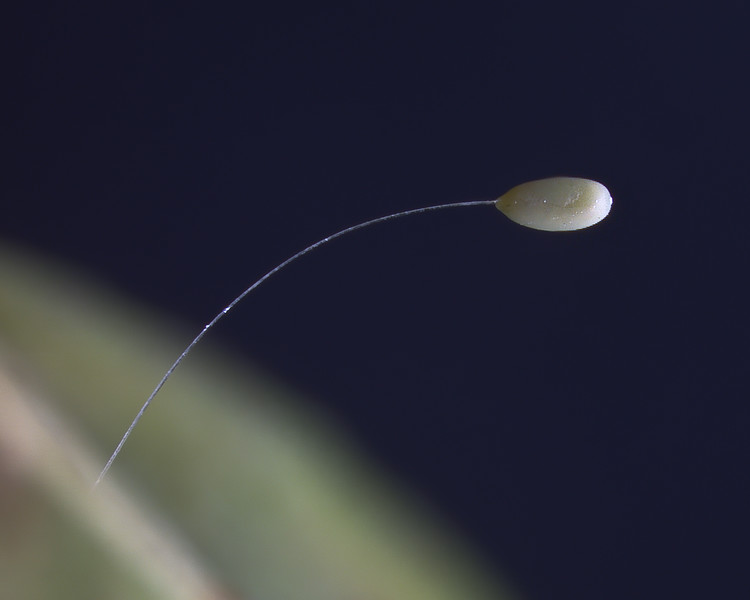 Egg of a lacewing laid at the end of a stalk that supports it off the surface of the leaf.  This help protect the egg against predators looking for a meal.  check