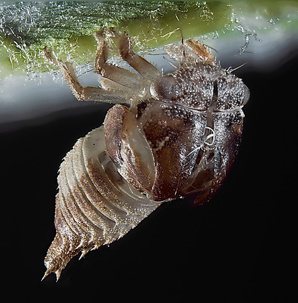 Exoskeleton of a last instar leafhopper on the underside of an oak leaf.  Similar to other exmples in this gallery, the mouthparts are imbedded into the main vein to anchor the insect to the leaf.  In addition, the six legs are grasping the sides of the vein to further improve attachment to the leaf.  This makes it easier for the adult to separate from the old skeleton.  The split along the head and thorax is where the adult literally walked out of its' own skin.  The oval structure lateral on the thorax contained the folded-up wings.  The new adult was white, soft, and vulnerable until the body shell hardened and the wings were completely unfolded and ready to support flight.  check