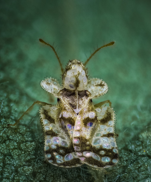 Lace bug 22 apr 17