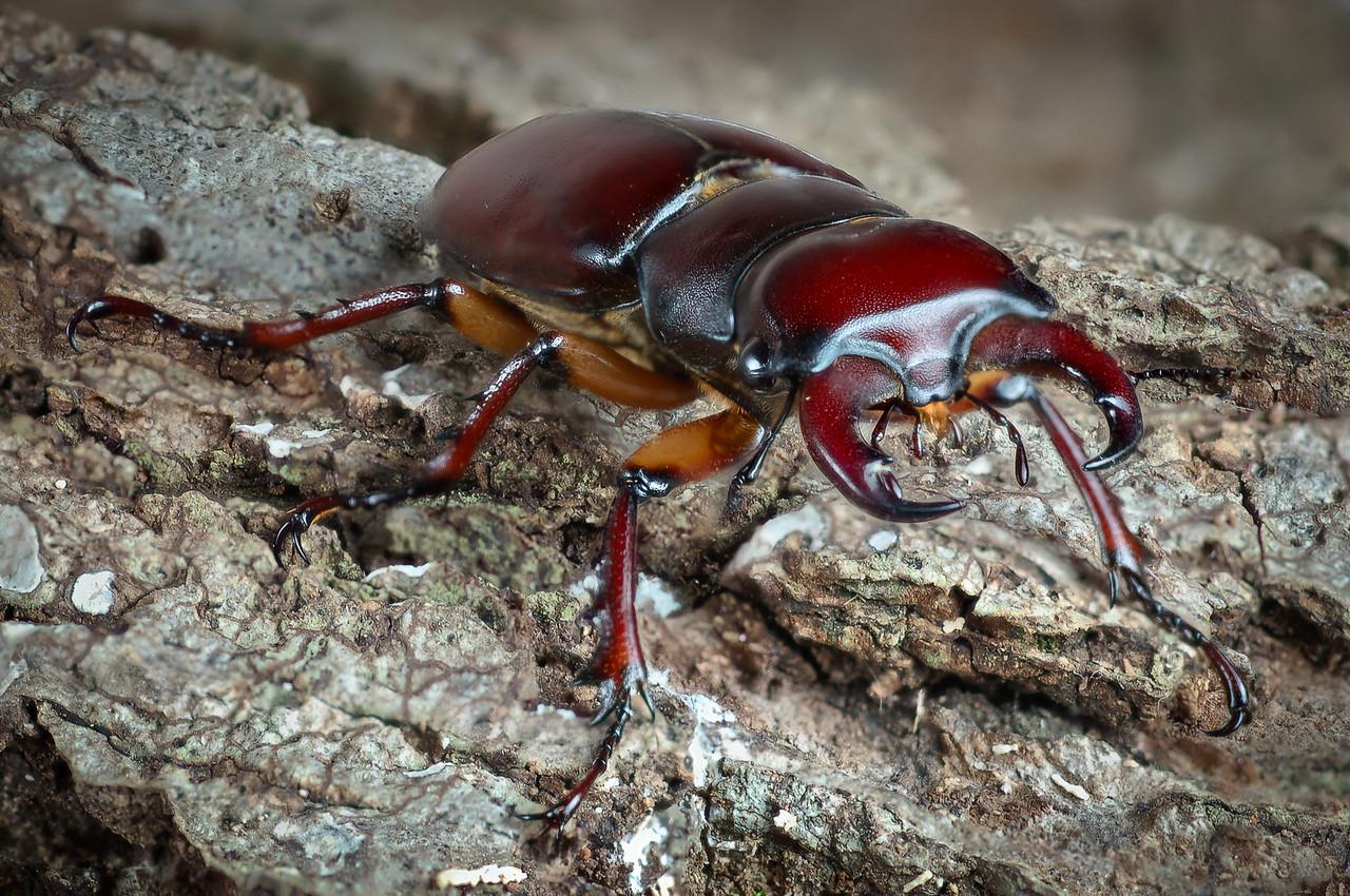 Reddish brown stag beetle, Lucanus capreolus.  Can this thing bite!