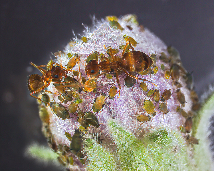 Ants tending aphids on the bud of an eggplant.  The ants feed on the sweet honeydew secreted by the aphids and the aphids are protected by the ants from parasitoids and predators.
