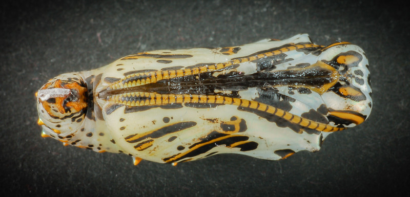 Nymphalid pupa 7 nov 15