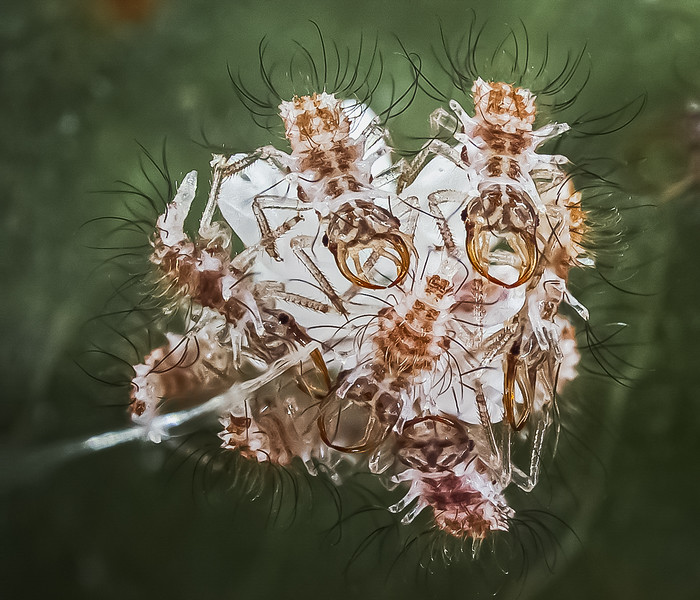 Recently hatched lacewing larvae congregating around the egg mass.  The mass is at the top of a silken stalk (left center) that keeps the eggs above the surface of the leaf and safe from predators.