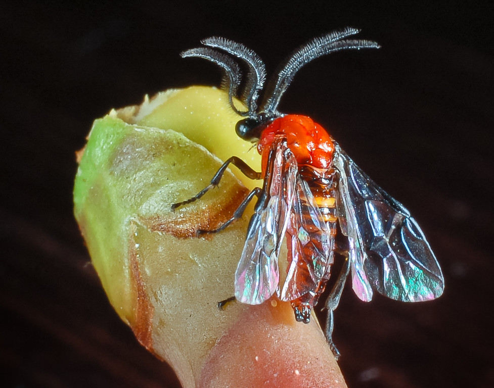 Adult male West Indian sawfly, Sericoceros krugii, sitting on a seagrape stem in Puerto Rico.  Note the unusual antennae.