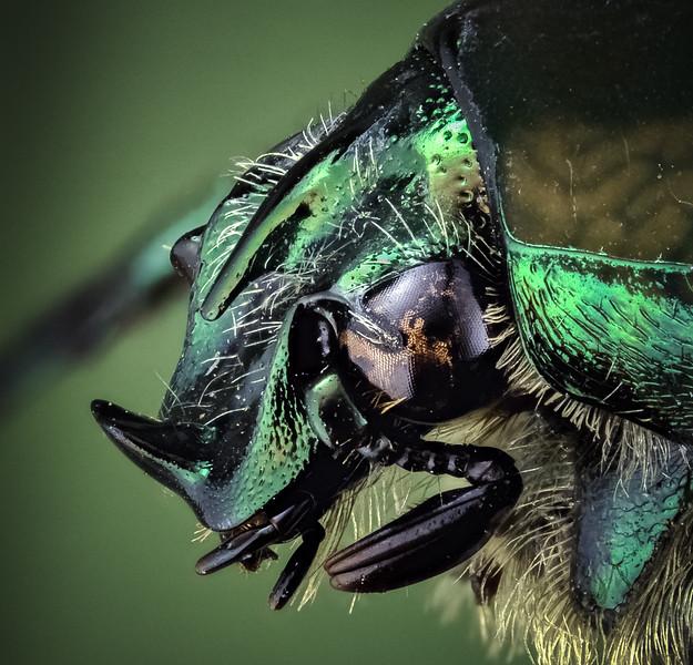 June beetle 1