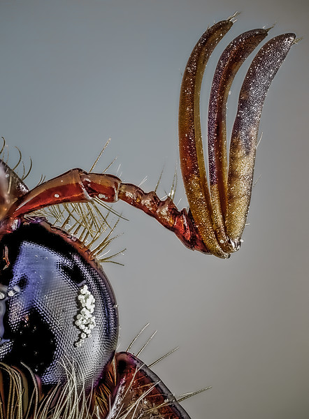 Ventral view of a scarab beetle showing the lamellate or plate-like antenna, and the compound eye.  The white particles on the eye are grains of pollen.