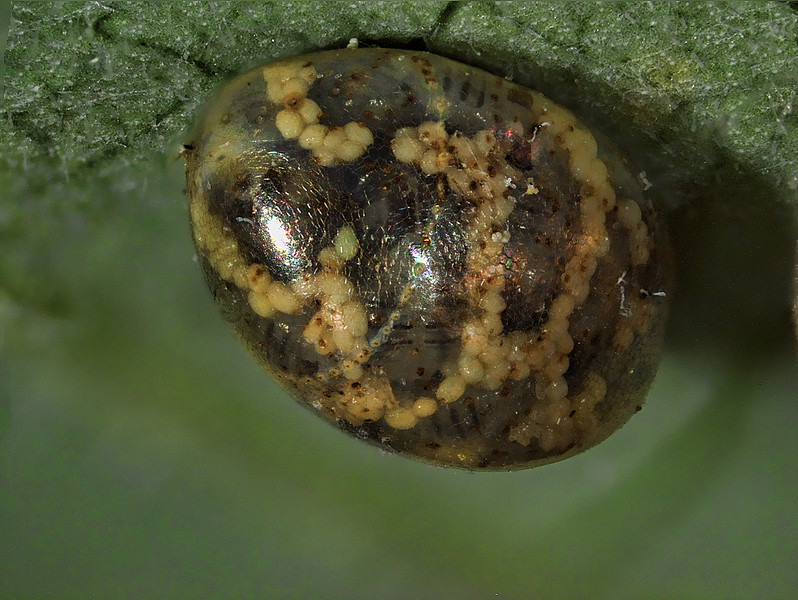 Unknown insect egg; parasitized; about 30 parasitoid wasps emerged from two of these eggs.