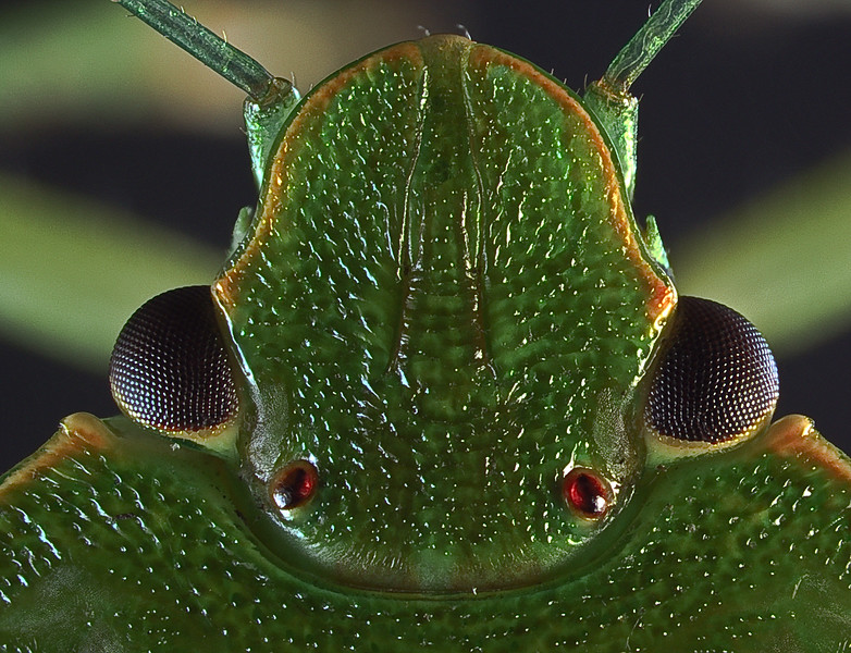 Dorsal view of the head of a green stink bug showing the compound eyes and the reddish simple eyes.  check
