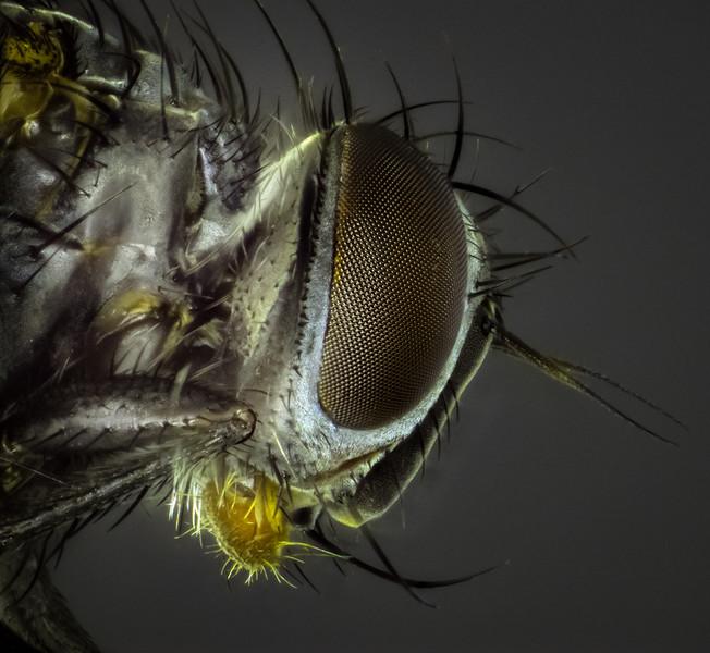 parasitoid of cucumber beetle